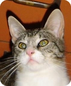 Domestic Shorthair Kitten for adoption in Franklin, West Virginia - Victor