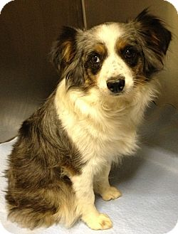 Australian Shepherd Dog for adoption in Fairview Heights, Illinois - Nickey