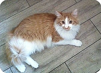 Maine Coon Cat for adoption in Los Angeles, California - Bosco