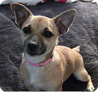 Chihuahua/Rat Terrier Mix Puppy for adoption in Haggerstown, Maryland - Christy