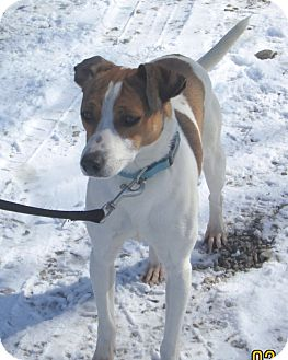 Jack Russell Terrier/Rat Terrier Mix Dog for adoption in Olney, Illinois - Ren