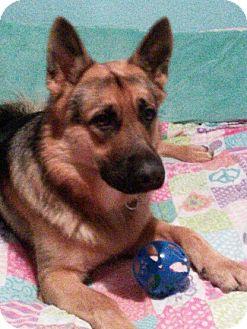 German Shepherd Dog Dog for adoption in Littleton, Colorado - SCHATZ - Referral