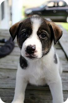 Husky/Beagle Mix Puppy for adoption in Grand Rapids, Michigan - Jasmine