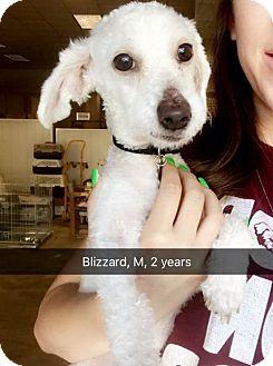 Terrier (Unknown Type, Medium) Mix Dog for adoption in Chico, California - Blizzard
