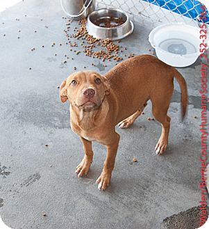 Hound (Unknown Type) Mix Puppy for adoption in Powellsville, North Carolina - ANDY