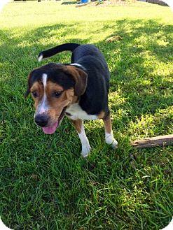 Beagle/Corgi Mix Dog for adoption in Beaumont, Texas - BOBBY