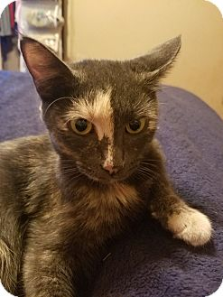 Domestic Shorthair Cat for adoption in Knoxville, Tennessee - Patches