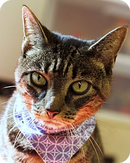 Domestic Shorthair Cat for adoption in Mayflower, Arkansas - Sparkle