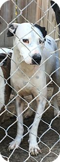 Pit Bull Terrier Mix Dog for adoption in Staunton, Virginia - Macy