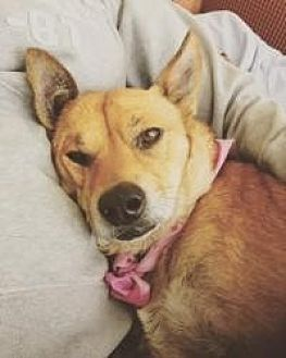 Rhodesian Ridgeback Dog for adoption in Dallas, Texas - Winnie
