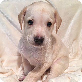 Labrador Retriever/Shepherd (Unknown Type) Mix Puppy for adoption in CUMMING, Georgia - Buzz