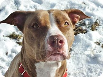 American Pit Bull Terrier Mix Dog for adoption in Lakeville, Minnesota - Sunny