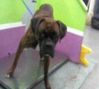 Boxer Dog for adoption in Austin, Texas - Bilbo Baggins