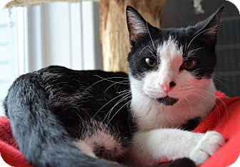 Domestic Shorthair Cat for adoption in Michigan City, Indiana - Rubet