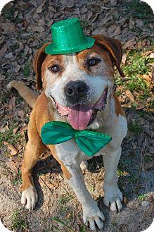 Beagle/English Bulldog Mix Dog for adoption in Bishopville, South Carolina - Patrick