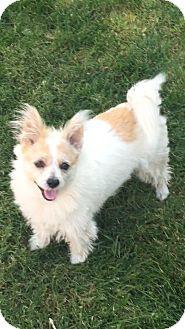 Corgi/Papillon Mix Dog for adoption in West Los Angeles, California - Simon Moondoggy