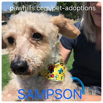 Miniature Poodle/Maltese Mix Dog for adoption in Agoura Hills, California - Sampson