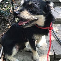 Terrier (Unknown Type, Small) Mix Dog for adoption in Seattle, Washington - SHADOW