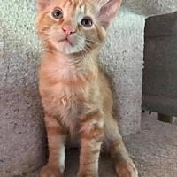 Adopt A Pet :: Kitten: Aiden - Napa, CA