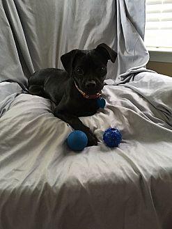 Pug/Miniature Pinscher Mix Dog for adoption in Hedgesville, West Virginia - Sidney