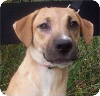 Black Mouth Cur/Labrador Retriever Mix Puppy for adoption in Chapel Hill, North Carolina - Kayleigh
