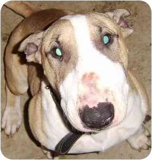 Bull Terrier Dog for adoption in Houston, Texas - Milo