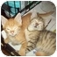 Photo 1 - Domestic Shorthair Cat for adoption in Little Neck, New York - LOOKIN 4 2