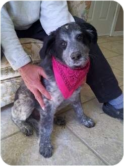 Golden Retriever/Blue Heeler Mix Puppy for adoption in Windham, New Hampshire - Oreo Cookie