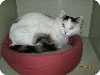 Domestic Longhair Cat for adoption in Colorado Springs, Colorado - Patches