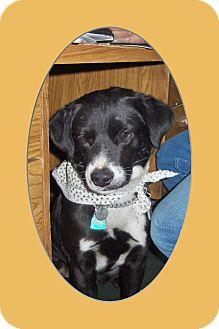 Border Collie/Labrador Retriever Mix Dog for adoption in Gustine, California - BOOTS