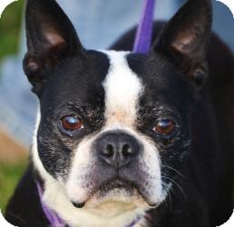 Boston Terrier Dog for adoption in Garden City, Michigan - Coach