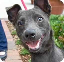 Miniature Pinscher Mix Dog for adoption in Baton Rouge, Louisiana - Smokey