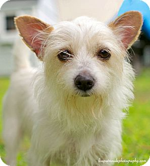 Wirehaired Fox Terrier Mix Dog for adoption in Worcester, Massachusetts - Cloey