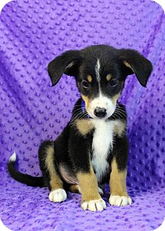 Sheltie, Shetland Sheepdog Mix Puppy for adoption in Westminster, Colorado - Crisp