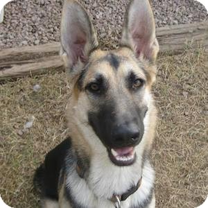 German Shepherd Dog Dog for adoption in Gilbert, Arizona - Lucy