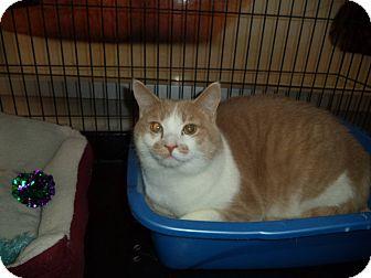 Domestic Mediumhair Cat for adoption in Hamilton., Ontario - JINX