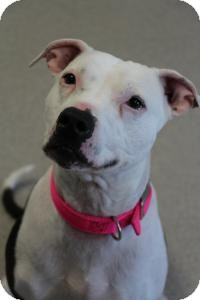 American Staffordshire Terrier Mix Dog for adoption in Manitowoc, Wisconsin - Echo