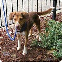 Adopt A Pet :: Casanova - Toronto/Etobicoke/GTA, ON