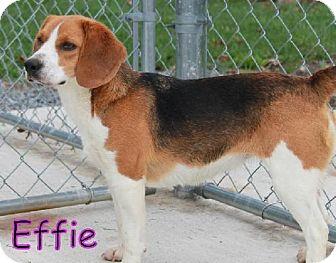 Beagle Dog for adoption in Lewisburg, West Virginia - Effie