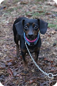 Dachshund Mix Dog for adoption in Waldorf, Maryland - Beautiful