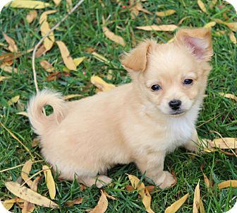 Chihuahua/Terrier (Unknown Type, Small) Mix Puppy for adoption in Temecula, California - Charlie- 1 of 5 puppies