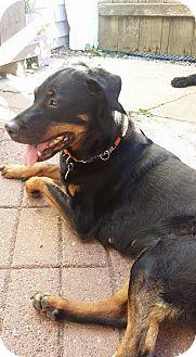 Rottweiler/Labrador Retriever Mix Dog for adoption in Surrey, British Columbia - Roxy