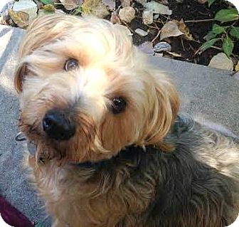 Yorkie, Yorkshire Terrier/Dachshund Mix Dog for adoption in Boulder, Colorado - Indie-ADOPTION PENDING