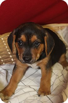 Shepherd (Unknown Type) Mix Puppy for adoption in Waldorf, Maryland - Mustard