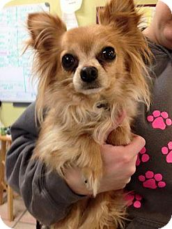 Chihuahua Dog for adoption in Newburgh, Indiana - Buster