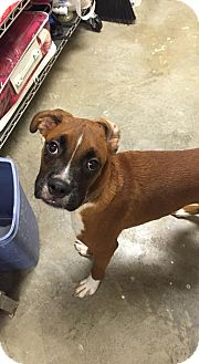 Boxer Mix Puppy for adoption in Arden, North Carolina - Spanky