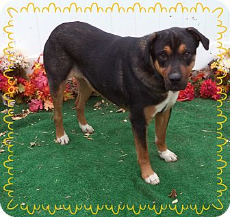 Rottweiler Mix Dog for adoption in Marietta, Georgia - TURK- reclaim