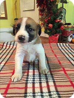 Labrador Retriever/Australian Shepherd Mix Puppy for adoption in Glastonbury, Connecticut - Kylie