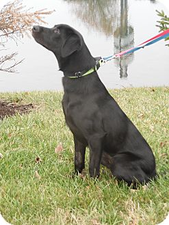 Labrador Retriever Mix Dog for adoption in Lewisville, Indiana - Hemi
