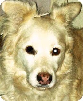 Cocker Spaniel/Golden Retriever Mix Dog for adoption in Memphis, Tennessee - Pablo Neruda